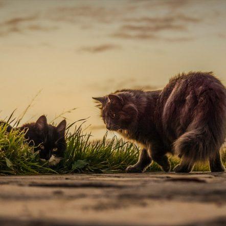 chats plus exposés aux parasites