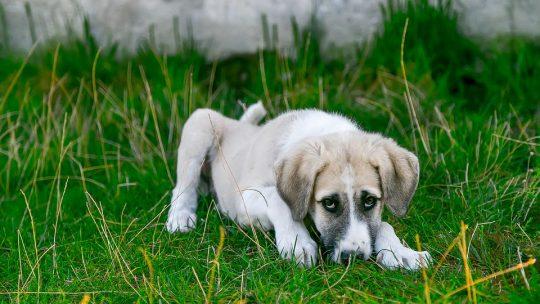 la perte de poils de son chien